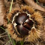 生の栗の賞味期限はどれくらい?長く保存させるには?