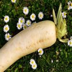 大根の生の賞味期限と柔らかくなった大根の使い方